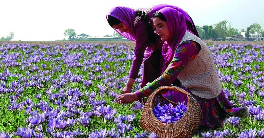 Certified saffron