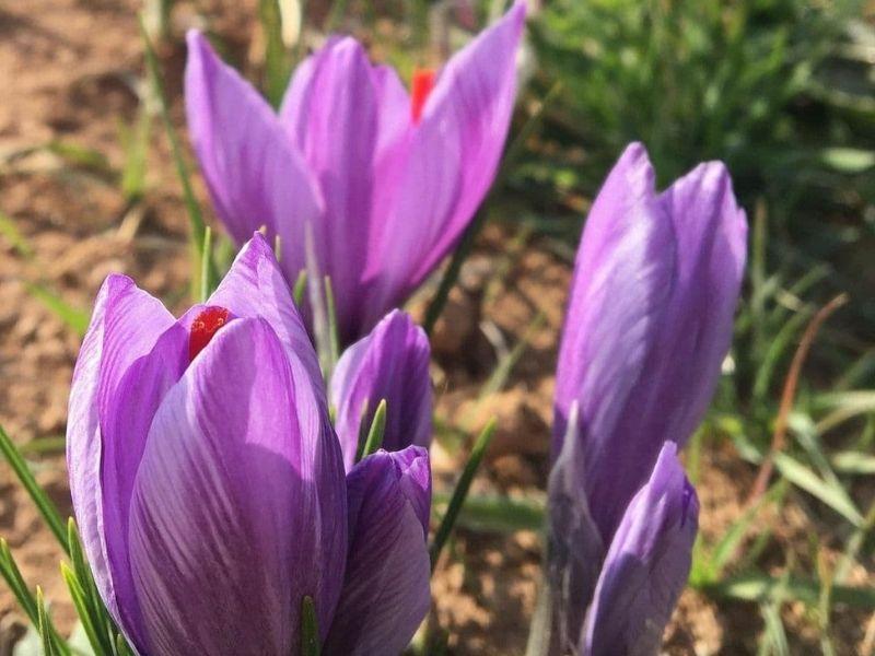 floower saffron